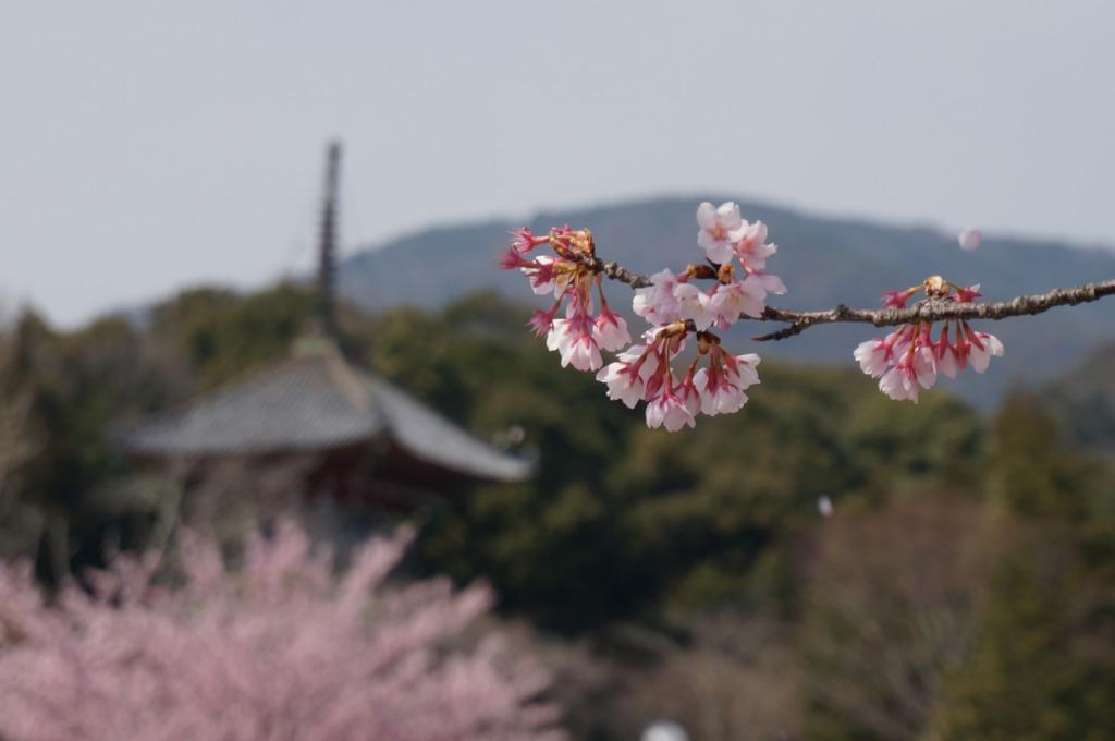 熊谷寺を望む桜の写真