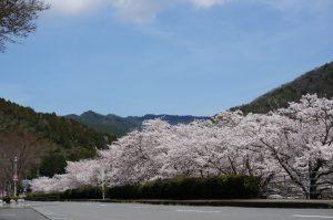 日開谷川の土手沿いの桜の写真