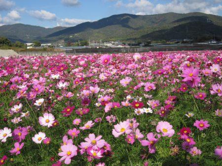 阿波市の花コスモス