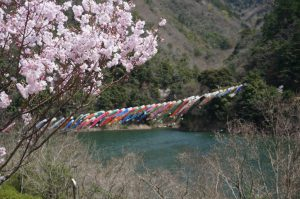 宮川内ダム公園のこいのぼりと桜