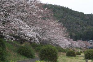 宮川内ダム公園の桜